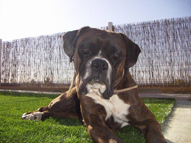 Dog resistant turf