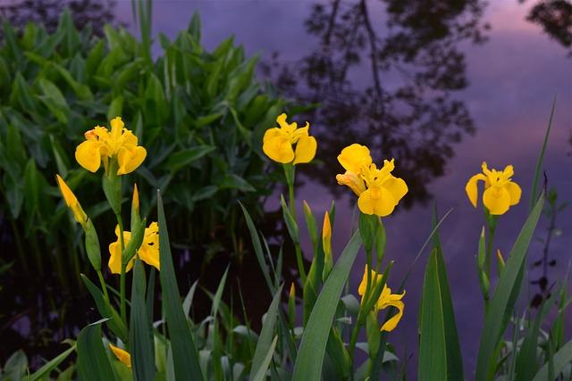 yellow iris perennial