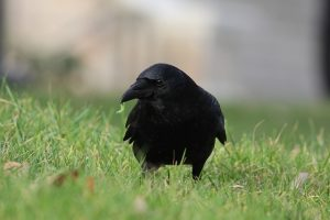 crow eating a grub