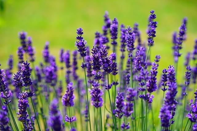 lavender garden shrub