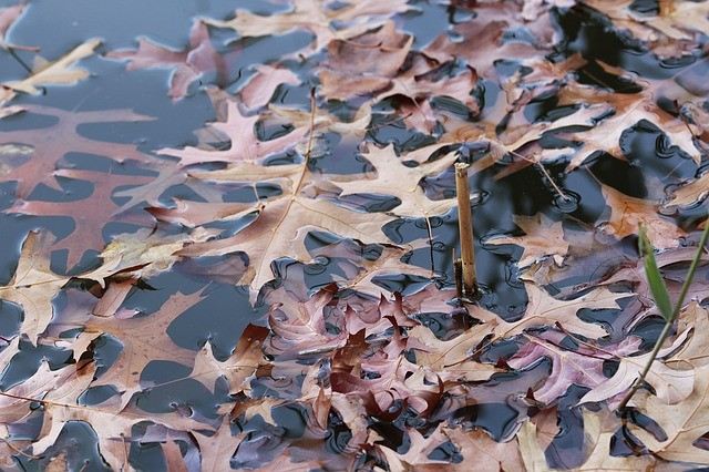 leaves on pond in November