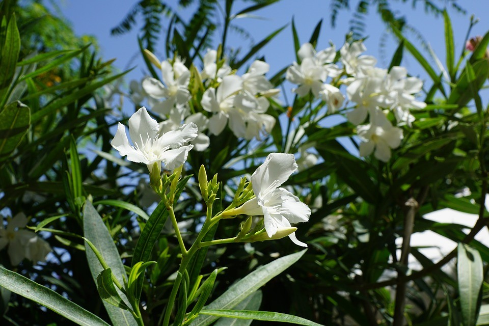Rhododendron 'Summer Fragrance'