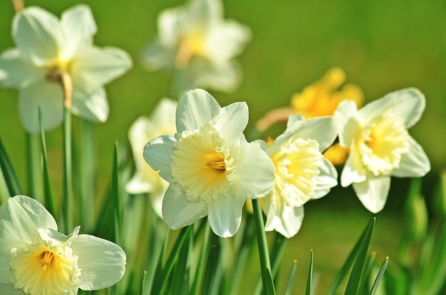 daffodils can be harmful