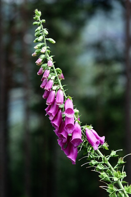 foxglove-self-seeding-plant