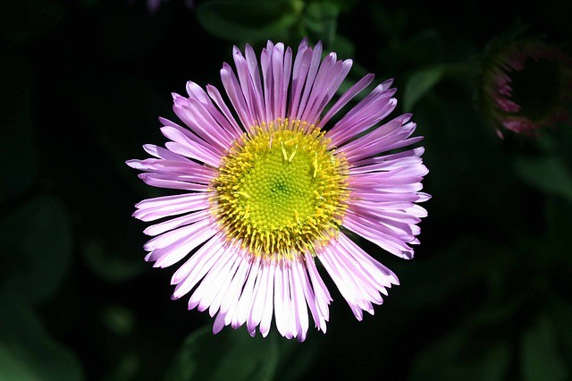 mexican-daisy-self-seeding-plant