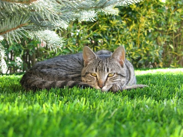 Artificial Grass & Cats – All Your Questions Answered