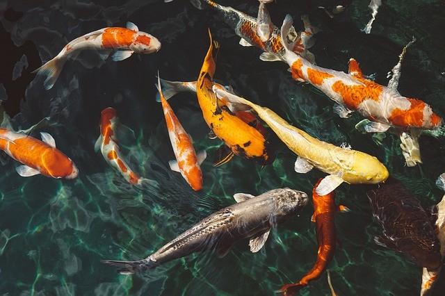 koi carp in fish pond
